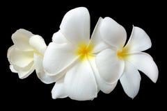 Λουλούδι Plumeria ή leelawadee Στοκ εικόνα με δικαίωμα ελεύθερης χρήσης