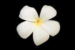 Λουλούδι Plumeria ή leelawadee Στοκ Φωτογραφία