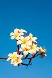 Λουλούδι Plumeria ενάντια στο μπλε ουρανό Στοκ φωτογραφία με δικαίωμα ελεύθερης χρήσης