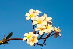 Λουλούδι Plumeria ενάντια στο μπλε ουρανό Στοκ Φωτογραφία