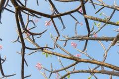 Λουλούδι Plumeria ενάντια στο μπλε ουρανό Στοκ Εικόνα