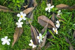 Λουλούδι Plumeria και νεκρή πτώση φύλλων στον τομέα χλόης Στοκ Φωτογραφία