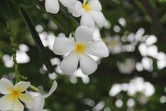 Λουλούδι Plumeria Λουλούδι Στοκ φωτογραφία με δικαίωμα ελεύθερης χρήσης