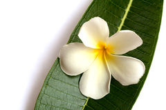Λουλούδι Plumeria με το υπόβαθρο φύσης για να δημιουργήσει έναν όμορφο Στοκ Φωτογραφία