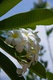 Λουλούδι Plumeria με το υπόβαθρο φύσης για να δημιουργήσει έναν όμορφο Στοκ Εικόνες