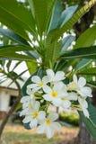 Λουλούδι Plumeria με το υπόβαθρο φύσης Στοκ Εικόνα