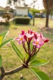 Λουλούδι Plumeria με το υπόβαθρο φύσης Στοκ εικόνες με δικαίωμα ελεύθερης χρήσης
