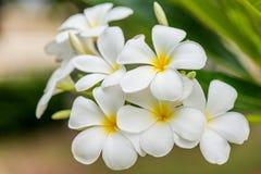 Λουλούδι Plumeria με το υπόβαθρο φύσης Στοκ Φωτογραφίες