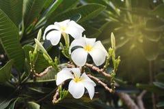 Λουλούδι Plumeria με το υπόβαθρο φύσης Στοκ φωτογραφία με δικαίωμα ελεύθερης χρήσης