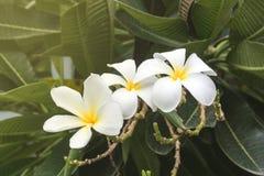 Λουλούδι Plumeria με το υπόβαθρο φύσης Στοκ φωτογραφίες με δικαίωμα ελεύθερης χρήσης