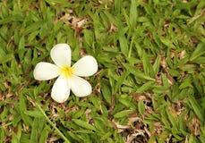 Λουλούδι Plumeria με το υπόβαθρο χλόης Στοκ φωτογραφία με δικαίωμα ελεύθερης χρήσης