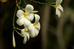 Λουλούδι Plumeria, λουλούδι Στοκ Φωτογραφία
