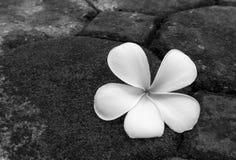 Λουλούδι Plumeria πετρών στον πράσινο τόνο χρώματος βρύου γραπτό, στοκ φωτογραφίες με δικαίωμα ελεύθερης χρήσης
