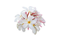 Λουλούδι Plumeria που απομονώνεται σε ένα άσπρο υπόβαθρο Στοκ φωτογραφίες με δικαίωμα ελεύθερης χρήσης