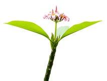 Λουλούδι Plumeria που απομονώνεται στο λευκό Στοκ Εικόνα