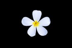 Λουλούδι Plumeria που απομονώνεται στο Μαύρο Στοκ Εικόνες