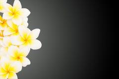 Λουλούδι Plumeria που απομονώνεται Στοκ φωτογραφία με δικαίωμα ελεύθερης χρήσης