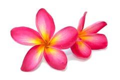 Λουλούδι Plumeria που απομονώνεται Στοκ φωτογραφίες με δικαίωμα ελεύθερης χρήσης