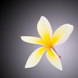 Λουλούδι Plumeria που απομονώνεται Στοκ Φωτογραφία