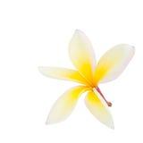Λουλούδι Plumeria που απομονώνεται Στοκ Εικόνα