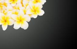 Λουλούδι Plumeria που απομονώνεται Στοκ Εικόνες