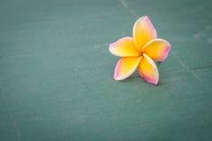 Λουλούδι Plumeria που τοποθετείται στο πάτωμα Στοκ εικόνα με δικαίωμα ελεύθερης χρήσης