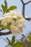 Λουλούδι Plumeria σε ένα δέντρο Στοκ Εικόνες