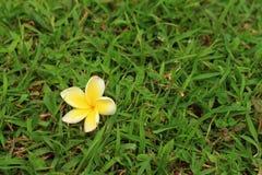 Λουλούδι Plumeria σε ένα υπόβαθρο της χλόης Στοκ φωτογραφία με δικαίωμα ελεύθερης χρήσης
