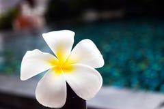 Λουλούδι Plumeria στην ξύλινη καρέκλα στην πισίνα Στοκ φωτογραφία με δικαίωμα ελεύθερης χρήσης