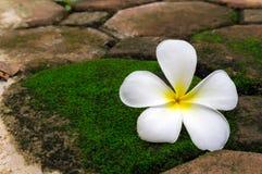 Λουλούδι Plumeria στην πέτρα με πράσινο Στοκ εικόνα με δικαίωμα ελεύθερης χρήσης