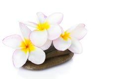 Λουλούδι Plumeria στην πέτρα με το άσπρο υπόβαθρο Στοκ Εικόνες