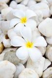 Λουλούδι Plumeria στην πέτρα Στοκ Εικόνες