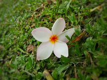 Λουλούδι Plumeria στον κήπο Στοκ Φωτογραφίες