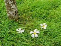Λουλούδι Plumeria στον πράσινο τομέα χλόης Στοκ Φωτογραφίες