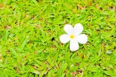 Λουλούδι Plumeria στον τομέα χλόης Στοκ εικόνα με δικαίωμα ελεύθερης χρήσης