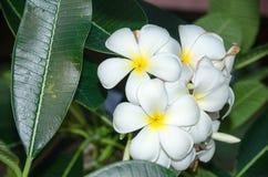 Λουλούδι Plumeria στο άρωμα πλήρους άνθισης που φυτεύεται στον κήπο Στοκ Φωτογραφίες