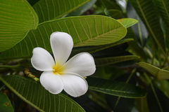 Λουλούδι Plumeria στο δέντρο Στοκ φωτογραφία με δικαίωμα ελεύθερης χρήσης