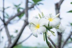 Λουλούδι Plumeria στο δέντρο Στοκ Εικόνα