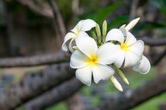 Λουλούδι Plumeria στο δέντρο Στοκ Φωτογραφίες