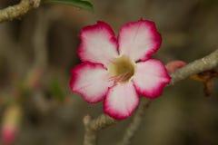 Λουλούδι, plumeria στο δέντρο plumeria Στοκ φωτογραφία με δικαίωμα ελεύθερης χρήσης