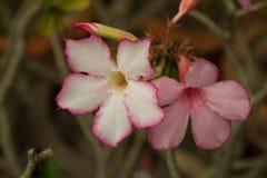 Λουλούδι, plumeria στο δέντρο plumeria Στοκ εικόνα με δικαίωμα ελεύθερης χρήσης