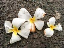 Λουλούδι Plumeria στο έδαφος Στοκ Φωτογραφία