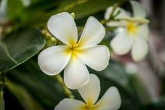 Λουλούδι Plumeria στο θολωμένο υπόβαθρο φύλλων Στοκ εικόνα με δικαίωμα ελεύθερης χρήσης