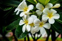 Λουλούδι Plumeria στο θολωμένο υπόβαθρο φύλλων Στοκ φωτογραφίες με δικαίωμα ελεύθερης χρήσης