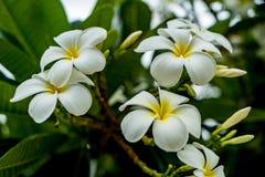 Λουλούδι Plumeria στο θολωμένο υπόβαθρο φύλλων Στοκ Εικόνες