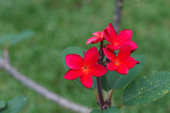 Λουλούδι Plumeria στο κόκκινο Στοκ εικόνες με δικαίωμα ελεύθερης χρήσης
