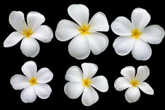 Λουλούδι Plumeria στο μαύρο υπόβαθρο Στοκ Εικόνες