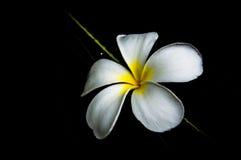 Λουλούδι Plumeria στο μαύρο υπόβαθρο Στοκ εικόνες με δικαίωμα ελεύθερης χρήσης