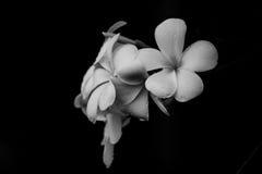 Λουλούδι Plumeria στο μαύρο υπόβαθρο Στοκ Εικόνα
