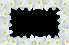 Λουλούδι Plumeria στο μαύρο υπόβαθρο Στοκ Φωτογραφίες